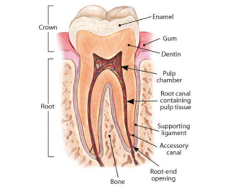 root canal thumb